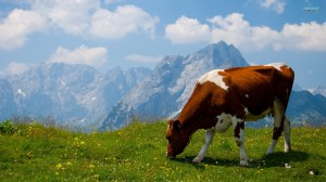 Animals___Pets____The_cow_in_the_Alpine_field_069326_