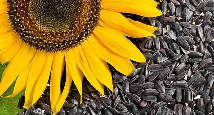 Установлен особый режим вывоза семян подсолнечника из ЕАЭС
